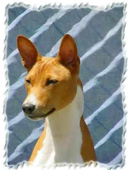 My Basenjis Basenji Health Basenji History Stud Dogs Resources & Links ...