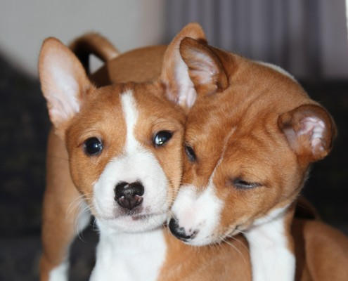 Basenji Puppies