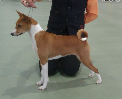 Basenji Willow at 12 months